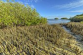 Pneumatophores of mangroves - Ningaloo Marine Park -Western Australia, The pneumatophores allow mangroves (Avicennia marina, Rhyzophora stylosa.) To breathe in the mud of the mangroves. Mangroves are a very fragile and original ecosystem, threatened worldwide .
