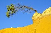 lonely tree , The Pinnacles , Nambung National Park, Western Australia