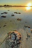 Stromatolites - Thetis Lake - Western Australia