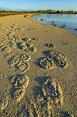 Stromatolithes - Thetis Lake - Australie Occidentale