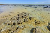 Stromatolites at low tide - Hamelin Pool - Shark Bay - Western Australia