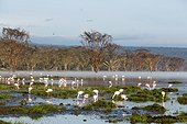 Kenya, Nakuru national park, lac Nakuru, some flamingos on the lake full of water