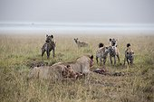 Kenya, Masai-Mara game reserve, lion (Panthera leo), conflict with spotted hyenas on a kill