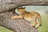 Kenya, Masai-Mara game reserve, Lion (Panthera leo), cub