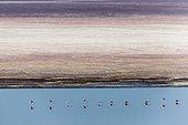 Kenya, Magadi lake, flamant nain, lesser flamingo (Phoeniconaias minor), aerial view