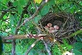 Nest of Bunting (Emberiza calandra). Armenia