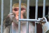 Macaque in captivity. Zoo Yerevan, Armenia