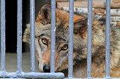 Wolf in captivity. Zoo Yerevan, Armenia
