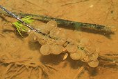 Eggs of Yellow-bellied Toad (Bombina variegata) in water. France