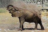 African Elephant (Loxodonta africana)dust bathing