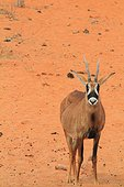 Roan antelope (Hippotragus equinus) on sand