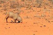Roan antelope (Hippotragus equinus) head on sand