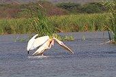 Great White Pelican (Pelecanus onocrotalus) in water. Ethiopia