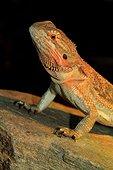 Central Bearded Dragon (Amphibolurus vitticeps)