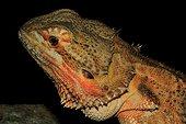 Portrait of Central Bearded Dragon (Amphibolurus vitticeps)