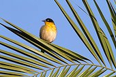 Baglafecht Weaver (Ploceus baglafecht). Ethiopia