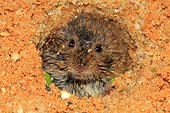 Common vole (Microtus arvalis), young