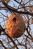 Nest of Asian predatory Hornet (Vespa velutina) in a tree