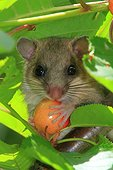 Fat dormouse (Glis glis) young and cherry. France