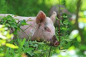 Pig, Armenia