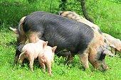 Pigs, Armenia