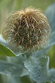 Pectinate Knapweed (Centaurea pectinata) involucral bracts , Cevennes, France