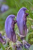 Purple Toothwort (Lathraea clandestina) in wetland , Pyrenees, France