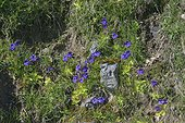 Common Butterwort (Pinguicula communis) on wet rocks, Pyrenees , France