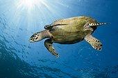 Hawksbill Sea Turtle, Eretmochelys imbricata, Komodo National Park, Indonesia