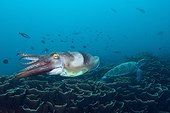 Broadclub Cuttlefish, Sepia latimanus, Komodo National Park, Indonesia