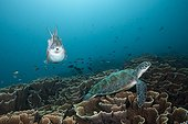 Broadclub Cuttlefish and Green Sea Turtle, Sepia latimanus, Komodo National Park, Indonesia