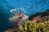 Lionfish in Coral Reef, Pterois volitans, Komodo National Park, Indonesia