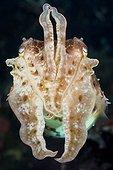 Broadclub Cuttlefish, Sepia latimanus, Bali, Indonesia