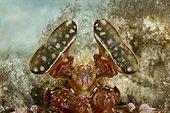 Stalked Eyes of Spearing Mantis Shrimp, Lysiosquillina sp., Ambon, Moluccas, Indonesia