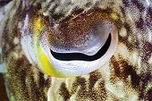 Eye of Cuttlefish, Sepia sp., Ambon, Moluccas, Indonesia