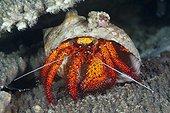 Red Hermit Crab, Dardanus megistos, Ambon, Moluccas, Indonesia