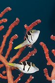 Pair of Black-saddled Puffer, Canthigaster valentini, Ambon, Moluccas, Indonesia