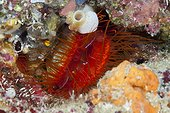 Electric Flame Scallop, Ctenoides ales, Ambon, Moluccas, Indonesia