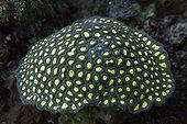 Fluorescent Hard Coral, Ambon, Moluccas, Indonesia
