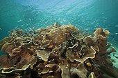 Cardinalfish surrounding Coral Reef, Apogon gracilis, Ambon, Moluccas, Indonesia