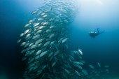 Diver and Shoal of Bigeye Trevally, Caranx sexfasciatus, Ambon, Moluccas, Indonesia