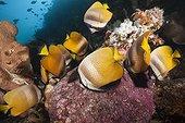 Butterflyfishes feeding on Fish Spawn, Chaetodon kleinii, Ambon, Moluccas, Indonesia