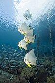 Longfin Batfish under Aborek Jetty, Platax teira, Dampier Strait, Birds Head Peninsula, Raja Ampat, West Papua, Indonesia