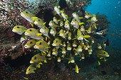 Shoal of Yellow-ribbon Sweetlips, Plectorhinchus polytaenia, Dampier Strait, Birds Head Peninsula, Raja Ampat, West Papua, Indonesia