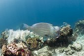 Bumphead Parrotfish defecating, Bolbometopon muricatum, Raja Ampat, West Papua, Indonesia