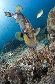 Giant Triggerfish (Balistoides viridescens), Dampier Strait, Birds Head Peninsula; Raja Ampat, West Papua, Indonesia