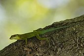 Montserrat Anole (Anolis lividus) on trunk - Montserrat island