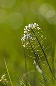 Shepherd's-purse (Capsella bursa-pastoris) flowers - Bourgogne - France