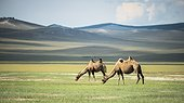 Bactrian camels (Camelus bactrianus) - Province of Khövsgöl - Mongolia