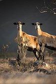 Feral goats (Capra hircus) - Montserrat island